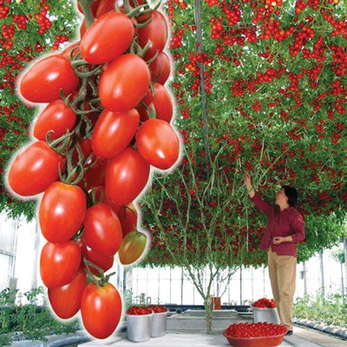 Томат - дерево Спрут сливка F1, семена - https://domicad.com.ua/