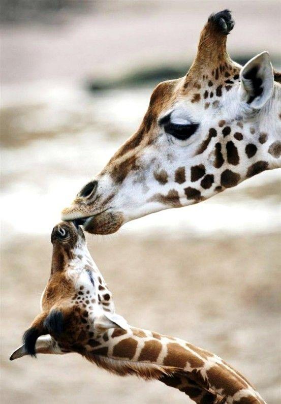 giraffe love: Animal Pics, A Kiss, Animal Pictures, Animal Baby, The Kiss, Baby Giraffes, Giraffes Kiss, Baby Animal, Sweet Kiss