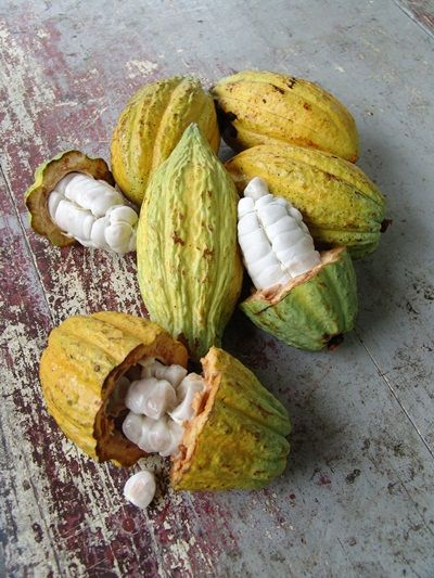 Inside the fruit of the cocoa tree are seeds covered in white pulp. It is from these seeds that chocolate is made.