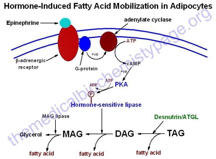Fatty acid metabolism. this website.