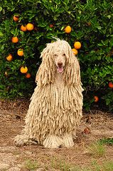 Standard Poodle with corded coat, grown out into full cords.