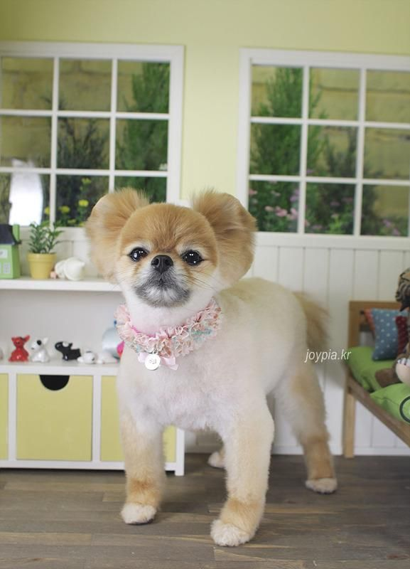 Now THIS is the most adorable Pomeranian haircut I ever seen!