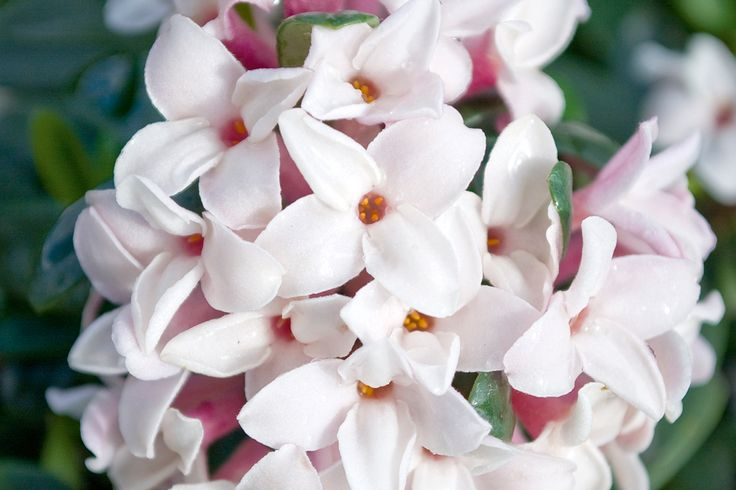 eternal fragrance daphne plant, growing daphne, handyman magazine,