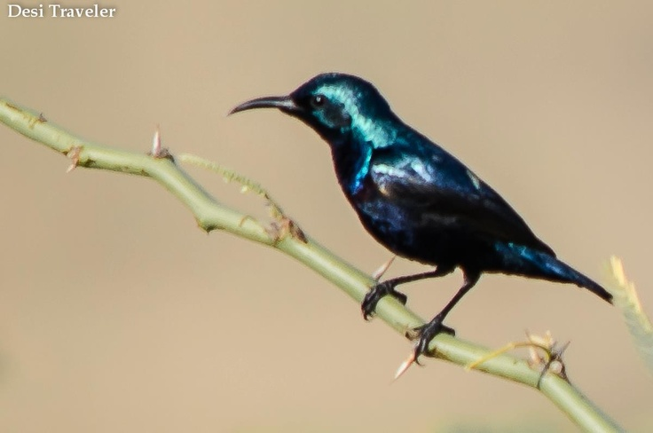 Sunbird around Nagarjuna Sagar