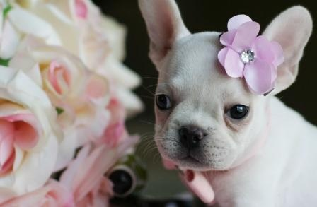 French Bulldog Puppy Princess: