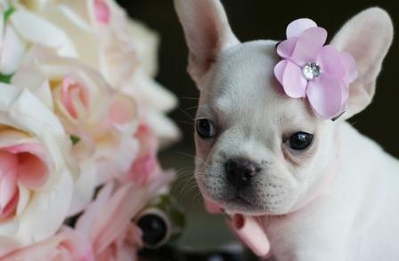 French Bulldog Puppy Princess: