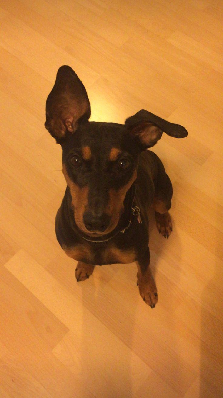 Germany pincher dog Maxi
