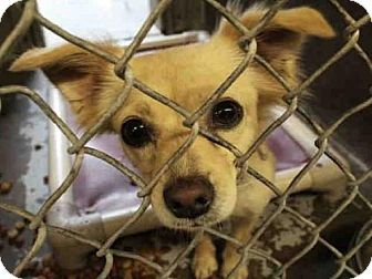 Mesa, AZ - Chihuahua/Pomeranian Mix. Meet A3865057, a dog for adoption. http://www.adoptapet.com/pet/17274508-mesa-arizona-chihuahua-mix