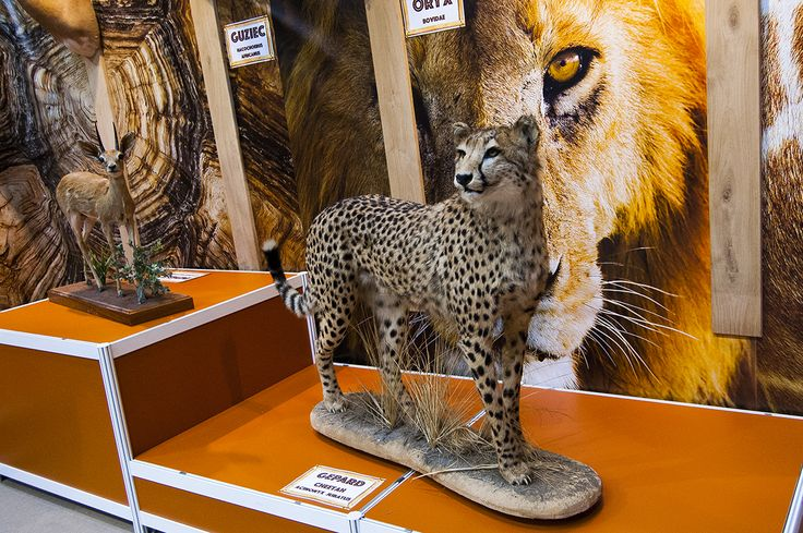 Amazing cheetah trophy seen during Polish Hunting Fairs - Hubertus EXPO 2015. Hunt beautiful beasts of the wild with us!