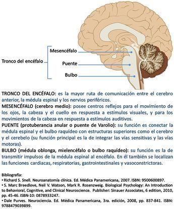 Ilustración de uso libre, sólo se pide citar la fuente (Asociación Educar para el Desarrollo Humano). TRONCO DEL ENCÉFALO:es la mayor ruta de comunicación entre el cerebro anterior, la médula espinal y los nervios periféricos. MESENCÉFALO (cerebro medio):posee centros reflejos para el movimiento de los ojos, la cabeza y el cuelloen respuesta a estímulos visuales, y para los movimientos de la cabeza en respuesta a estímulos auditivos.