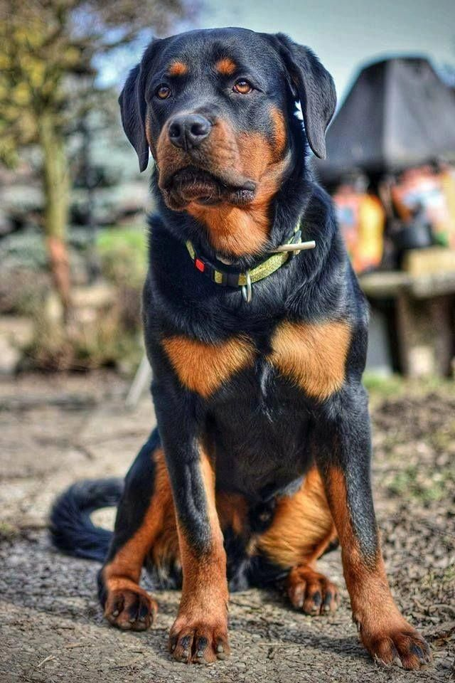 Outstanding Rottweiler Dogs Info Is Available On Our Internet