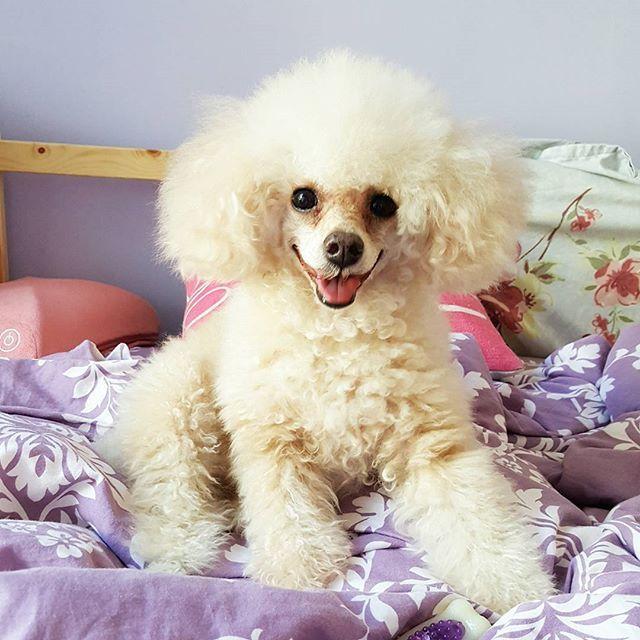 dearest daughter 💜 SmallSmall細細粒 . . . . #poodle#toypoodle#teacup#furbabies#furbaby#family#dog#dogs#pet#love#happy#cute#貴婦 #玩具貴婦#茶杯貴婦#teacuppoodle #愛犬#犬#sweet#summer#corgi#AlaskanMalamute#malamute #husky#哥基#雪橇#阿拉斯加
