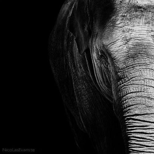 Dark Zoo - Elephas maximus  by Nicolas Evariste