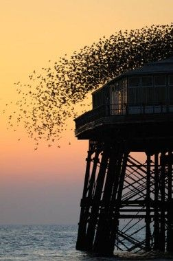 """""""Starlings on North Pier""""  Starlings taking off before going under the pier to rest. Sometimes they get spooked by passers-by, but from time to time they lift up because of hunting peregrine falcons."""