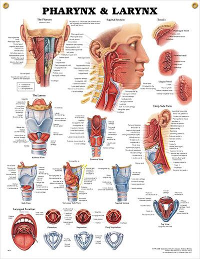 Pharynx and Larynx anatomy poster ENT poster shows posterior view of the pharynx and shows sagittal section, deep side view and tonsils.