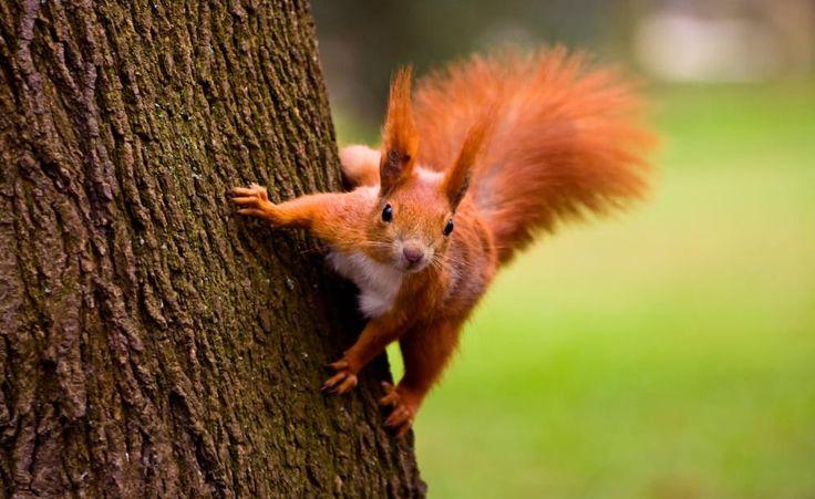 Eichhörnchen leben eigentlich in Wäldern und Parks und ernähren sich dort von Samen und Nüssen. Finden sie dort nicht mehr ausreichend Nahrung, gehen sie andernorts auf die Suche. Mit diesen Tricks können Sie die hübschen Nagetiere in Ihren Garten locken und ihnen dort einen Lebensraum schaffen.