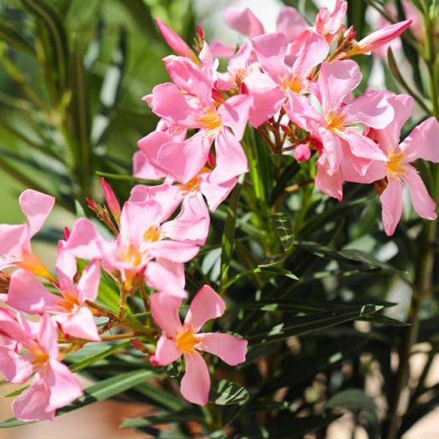 die besten 25 oleander schneiden ideen auf pinterest oleander pflege oleander vermehren und. Black Bedroom Furniture Sets. Home Design Ideas