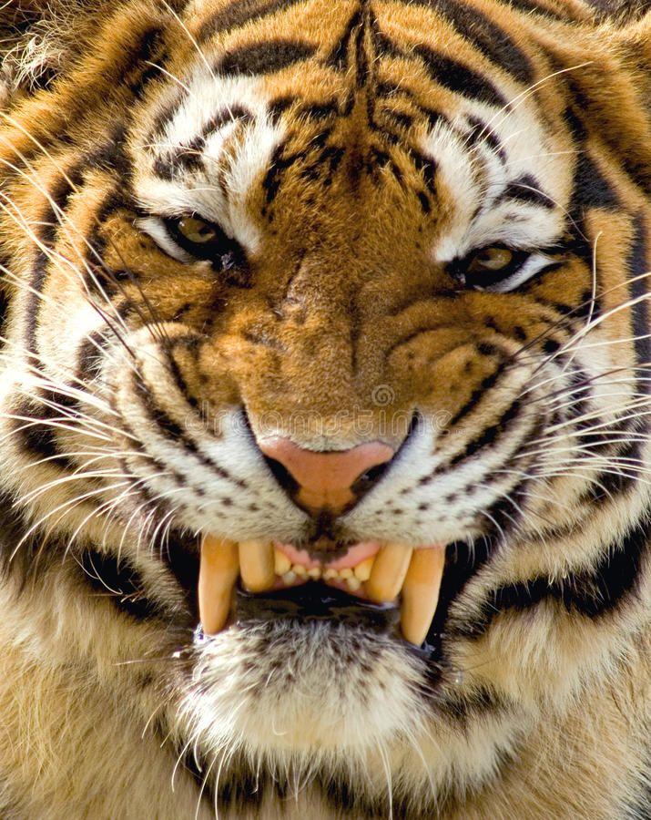 Nice Tiger Large Snarling Male Siberian Tiger Ad Large Tiger Nice Siberian Male Ad Tiger Spirit Animal Siberian Tiger Scary Animals