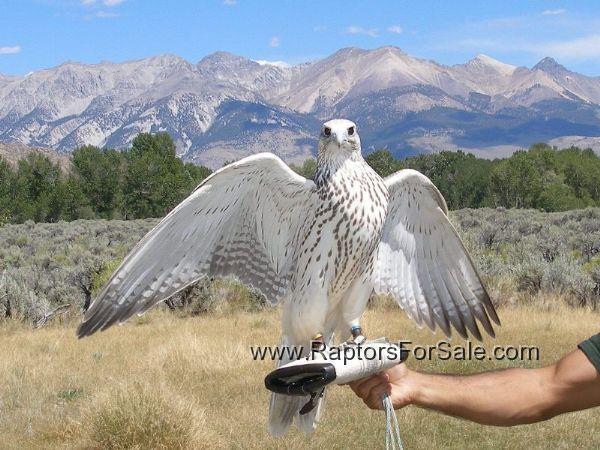 silver gyrfalcon - Emperor Rudolph's bird | Shadow Of ...