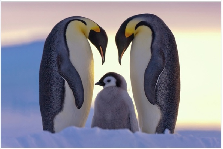 Familia: Aptenodyt Patagonica, King Penguins, Parents, Sweet, National Geographic Photo, Penguins Love, Emperor Penguins, Penguins Families, Animal
