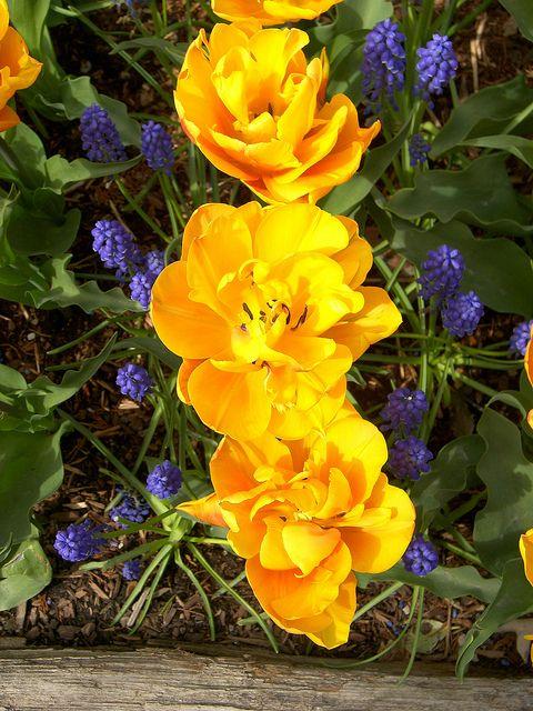 Monte Carlo Tulips & Grape Hyacinth, Mt Vernon, Washington   Flickr: Intercambio de fotos
