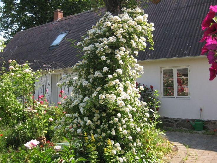Rosa Helenae at Venusgarden