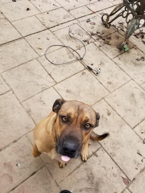 2017-11-28 Exodus is an adoptable Boxer/Shepherd Mix dog searching for a forever family near Woodland, CA. Use Petfinder to find adoptable pets in your area.