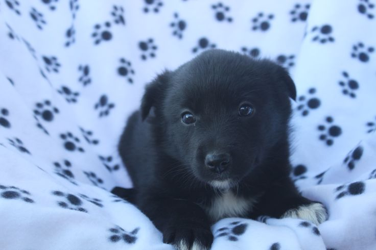 Blacl labrador retriever puppy -- here is a 6 week old puppy at http://www.network34.com