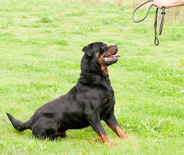 The Traits We Adore About The Calm Rottweiler Rottweiler