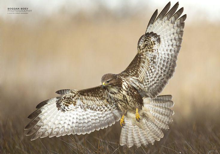Spread Wings by BogdanBoev.deviantart.com on @deviantART --- Common Buzzard (Buteo buteo)
