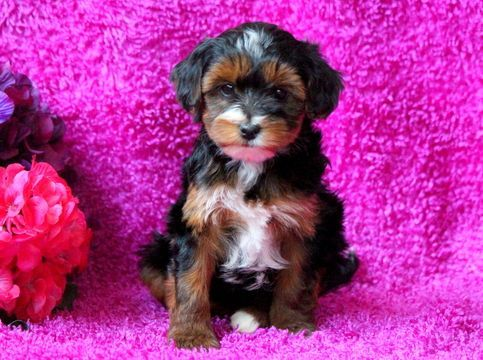 Poodle (Toy)-Yorkshire Terrier Mix puppy for sale in MOUNT JOY, PA. ADN-51548 on PuppyFinder.com Gender: Female. Age: 7 Weeks Old