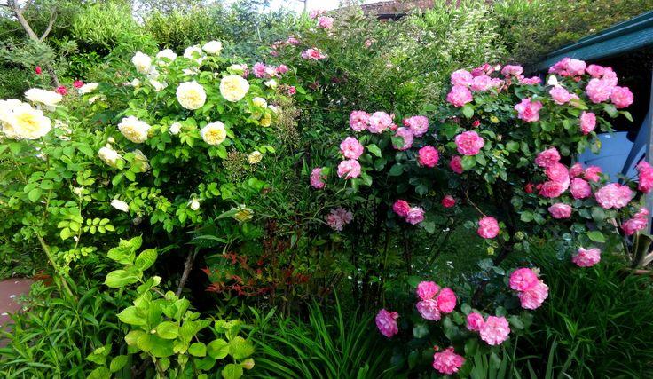 2 cespugli molto belli e molto rifiorenti....la gialla ROSA PILGRIM di John Austin e la rosa moderna COLOMBINA bianca con il bordo dei petali colorato di fucsia.