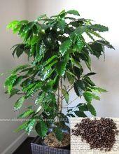 Кофе в зернах растений - ямайка голубая гора - редкие кофе в зернах - 50 семян(China (Mainland))