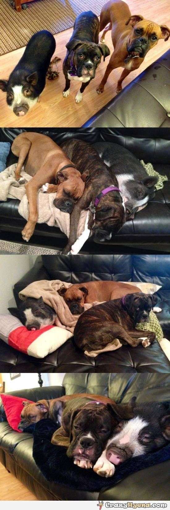 Humorous photos of two dogs and a pig living together like they are three dogs. This pig has some identity crisis.