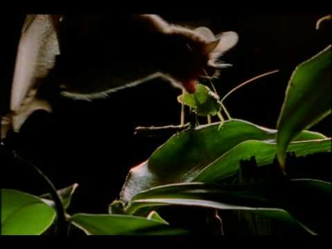 Wild Detectives: Bats by Night - YouTube