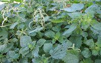 Plantas aromáticas em consociações de culturas em agricultura e jardinagem biológica | Plantas aromáticas, medicinais e condimentares