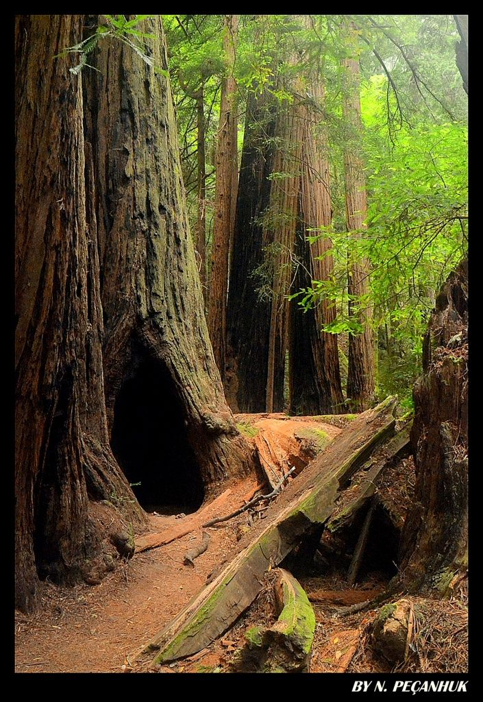 MUIR WOODS! - Muir Woods, California - there is nothing like standing among these ancient giants