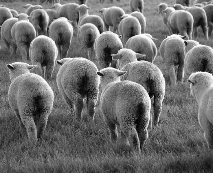 Cultura Inquieta - Ovejas blanqueando la tierra