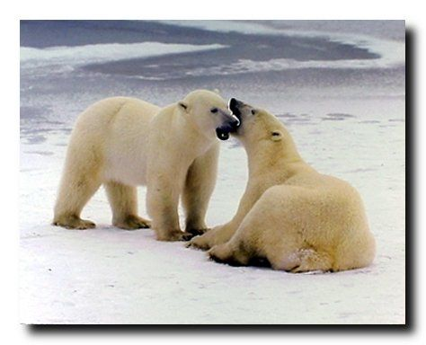 Absolutely Wow! If you want to Bring the natural beauty of the snow field and Polar bear into your home decor grab this wonderful snow animal art print poster and see how it refreshes your space. Polar bears are excellent swimmers and they will travel long distances between shore and the sea ice if necessary. This poster depicts the image of pair of polar bears playing in a snow field which is sure to grab lot of attention.