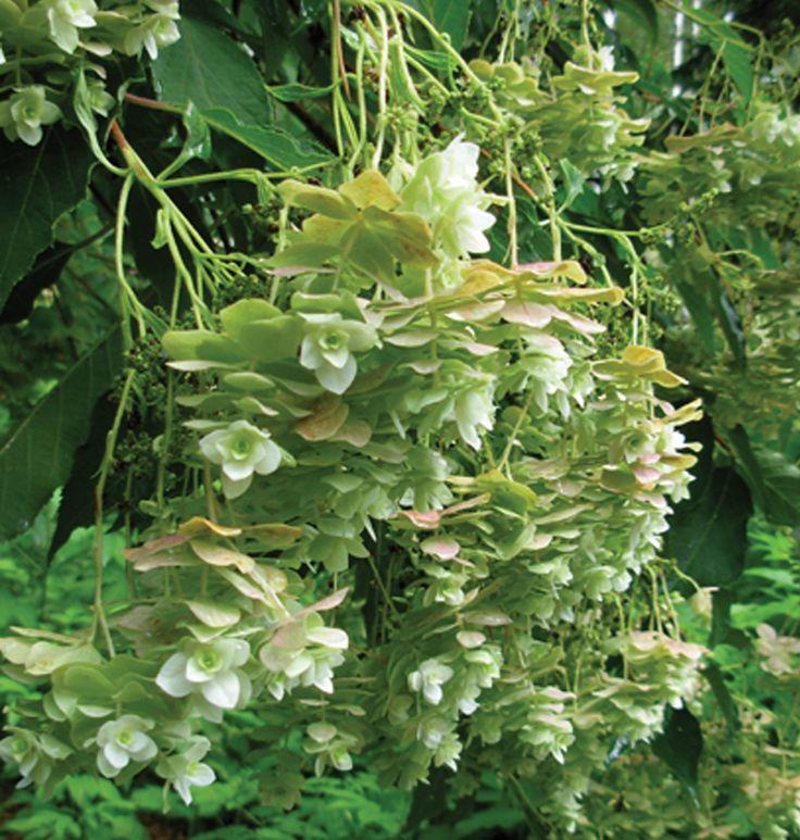 Hydrangea bret. 'Bougie', Skägghortensia. Nyhet! FinE-sort. Tidigt, blommar i juli. Avlånga, hängande blomklasar. Höjd: 2-3 m. Bild: MTT.