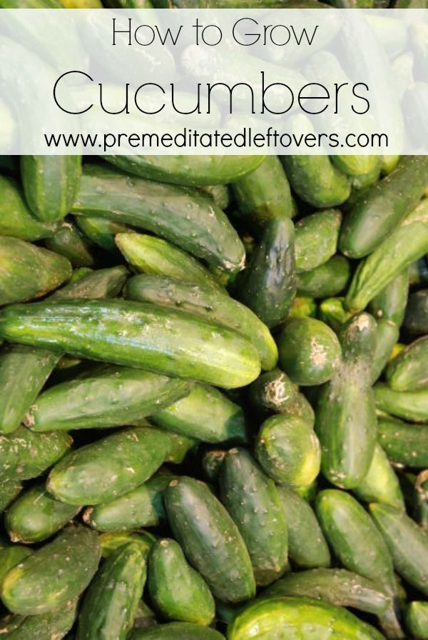 How to Grow Cucumbers - Tips for growing cucumbers, including how to plant cucumber seeds and how to transplant and care for cucumber seedlings.