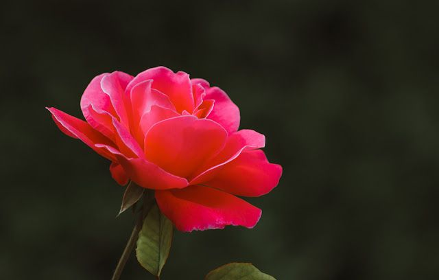 صور ورد طبيعي احمر Beautiful Flowers Wallpapers Pink Flowers Flowers