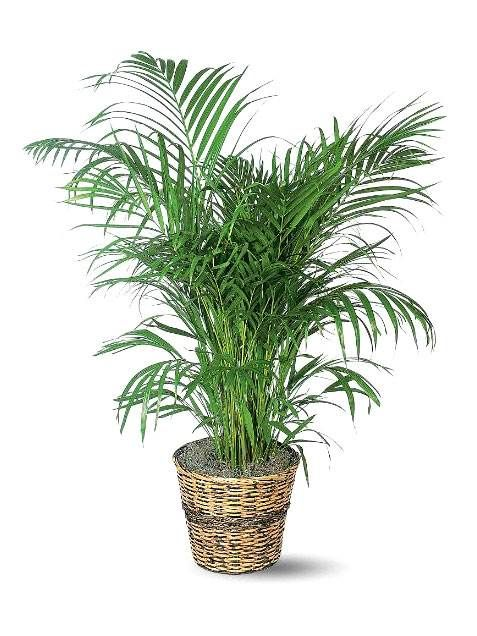 This pretty indoor house palm is a great inspiration if you're dreaming of tropical climates—or just trying to conjure the look in your home decor. It can grow to about seven feet for a dramatic touch in a room, but a smaller pot will keep it contained if you'd like it to stay smaller