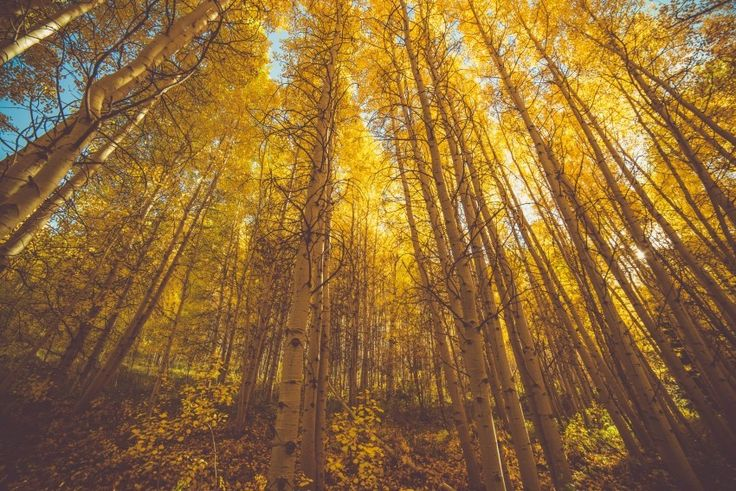 forest landscape tall trees yellow Download free addictive high quality photos,beautiful images and amazing digital art graphics about Nature / Landscapes.