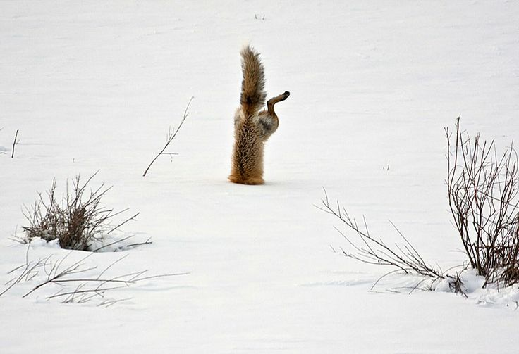 22 photos of the fox.  I was lucky enough to spend a few years with Tippy and Clyde and learn to love these little creatures.