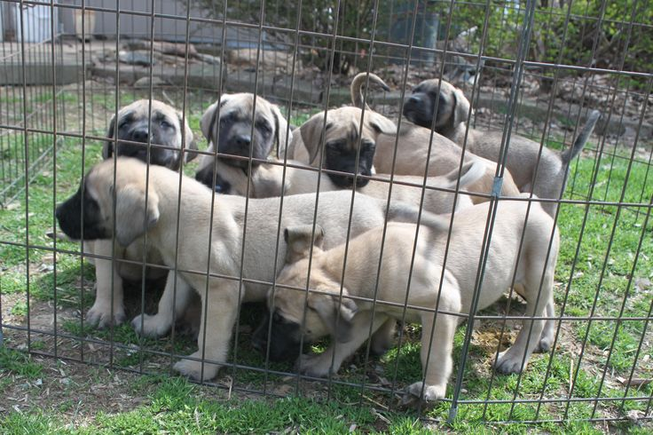English Mastiff Puppies For Sale - http://www.windsorsprings.com/ http://www.windsorsprings.com/english-mastiffs-puppies-for-sale/