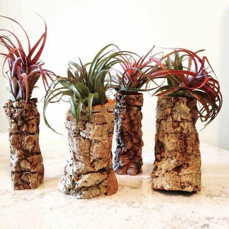 Air plants in natural bark cylinders. Beautiful! #airplants #ontariogrown #twigflowers #twigweddings #shopsmallbusiness #shoplocal #toronto #torontoflorist