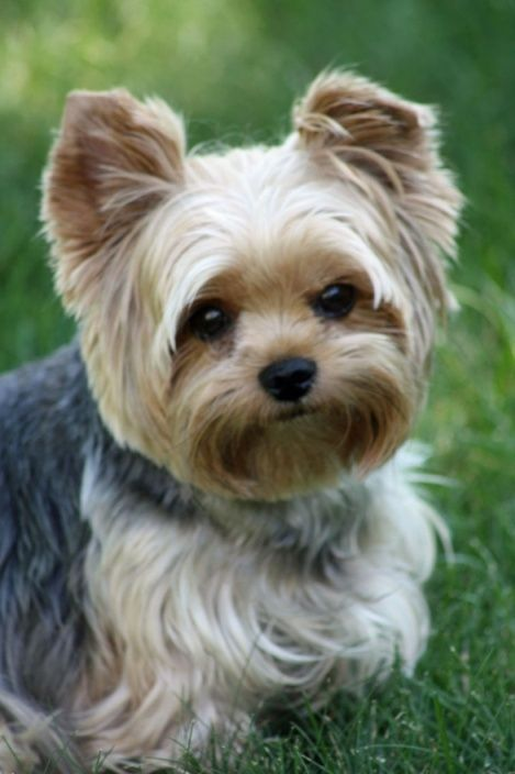 yorkie+summer+haircuts | ... yorkie puppy cut teacup yorkie haircuts yorkie haircuts pictures white