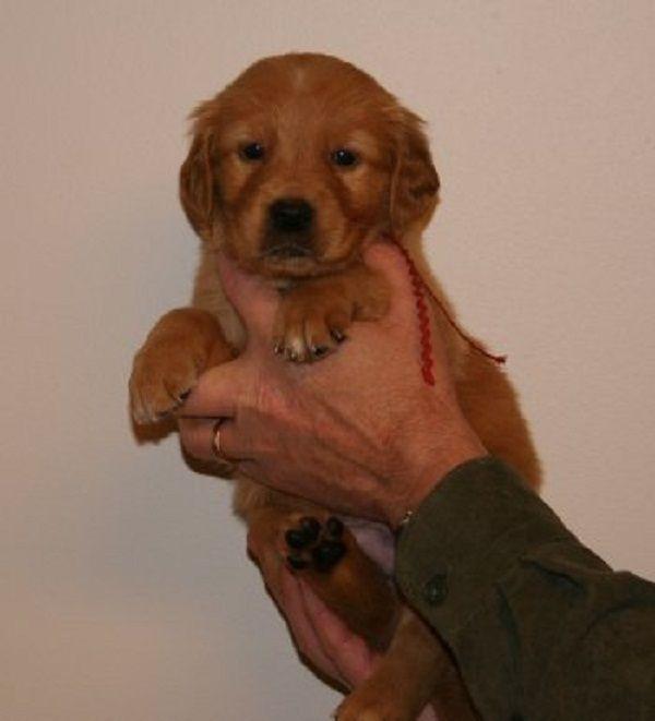 dark red golden retriever puppies   Zoe Fans Blog