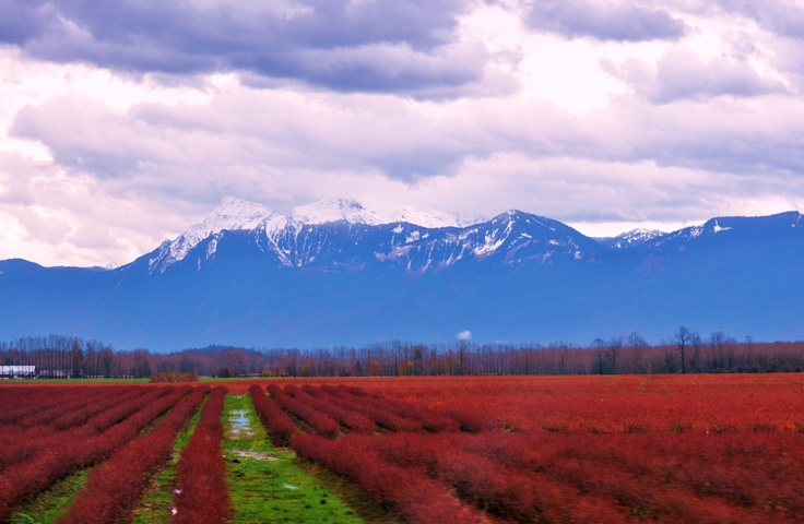 Mission, BC ~ cranberries and dairy cows